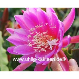 Epiphyllum-Hybr. Erhart de le Metre