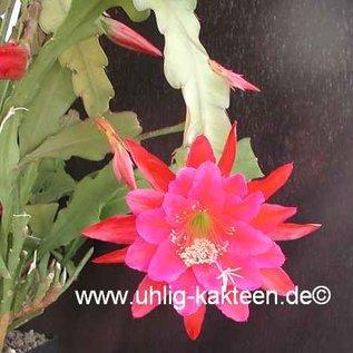 Epiphyllum-Hybr. Hans Mitterer