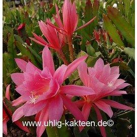 Epiphyllum-Hybr. Jerommeke