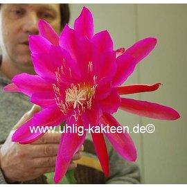 Epiphyllum-Hybr. `Lipstick`