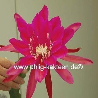 Epiphyllum-Hybr. Lipstick