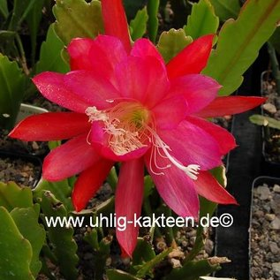 Epiphyllum-Hybr. Maientraum  PE 121