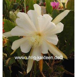 Epiphyllum-Hybr. Mexa Kelly