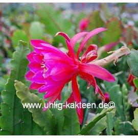 Epiphyllum-Hybr. Ciudad de mexico