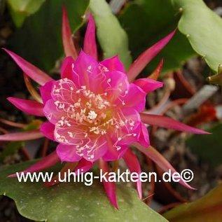 Epiphyllum-Hybr. Osterholz  PE 112