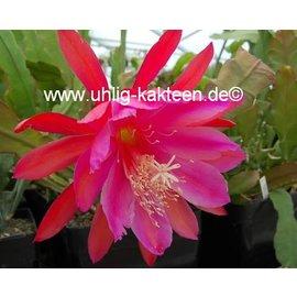 Epiphyllum-Hybr. Vogelii