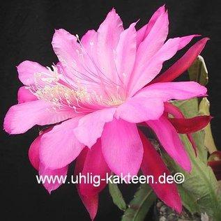 Epiphyllum-Hybr. `Wild Plum`