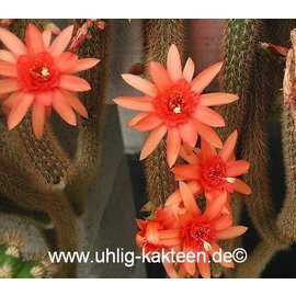 Hildewintera aureispina hybr. Helms nouveau