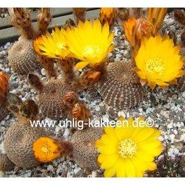 Lobivia famatimensis FR 459 v. FR 459 Argentinien