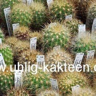 Neoporteria chilensis   Punta Molles