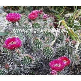 Opuntia hystricina-Hybr.  cv. Halblech     (dw)