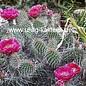 Opuntia hystricina  cv. Halblech     (dw)