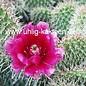 Opuntia polyacantha  cv. Linz     (dw)