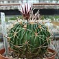 Stenocactus crispatus  f. guerraianus