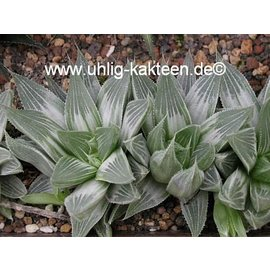 Haworthia retusa  cv. Grey Ghost