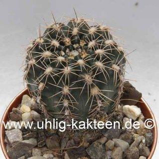 Gymnocalycium bruchii  BOS 061