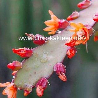 Rhipsalis monacantha