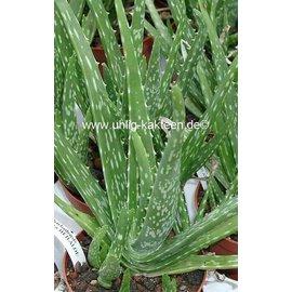 Aloe vera fa. Indica HEILALOE INDIO