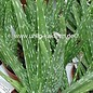 Aloe vera fa. indica Indian HEILALOE