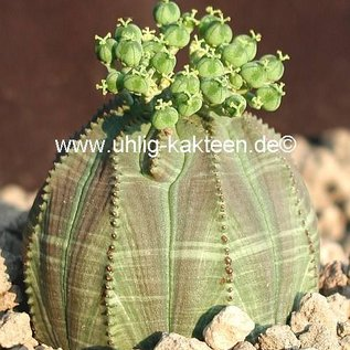 Euphorbia obesa Baseball-Wolfsmilch  South Africa