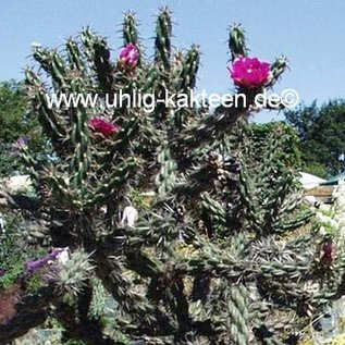 Cylindropuntia imbricata cv. Stützer      (dw)