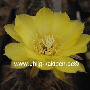 Echinopsis shaferi  STO 132/2