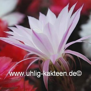 Echinopsis-Hybr. Findelkind