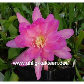 Epiphyllum-Hybr. Ambrosia