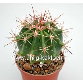 Ferocactus pilifer  x fordii