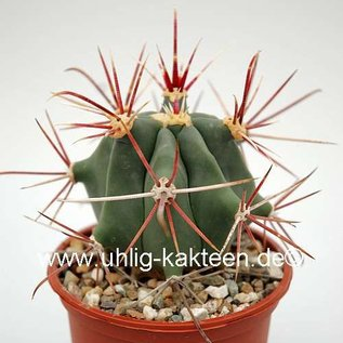 Ferocactus rectispinus-Hybr. x pottsii