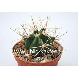 Ferocactus X lecontei Nr.27