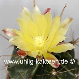 Hamatocactus hamatacanthus  v. sinuatus