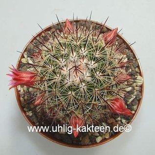 Mammillaria duoformis   Puebla