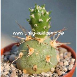 Tephrocactus kuehnrichianus  v. applanatus Typ II