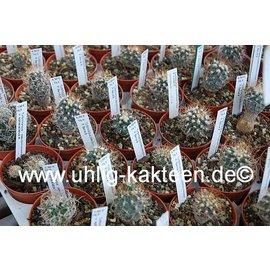 Turbinicarpus pseudomacrochele   P. Bernal   CITES