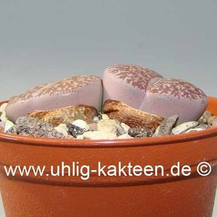 Lithops lesliei  ssp. lesliei ´grey form´