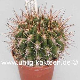 Pyrrhocactus neohankeanus