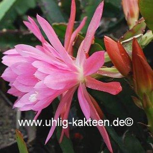 Epiphyllum-Hybr. Hodapp