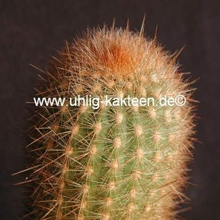 Haageocereus chosicensis