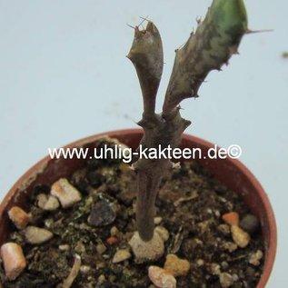 Euphorbia buruana   Kenya
