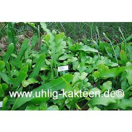 Epiphyllum thomasianum