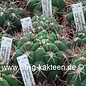 Gymnocalycium aff. saglionis