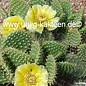 Opuntia rutila-arenaria TX BM J96K      (dw)