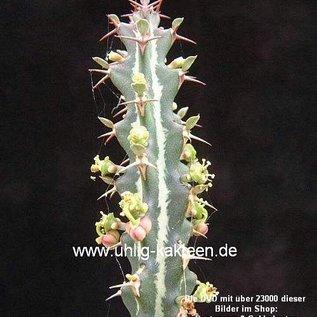 Euphorbia knuthii