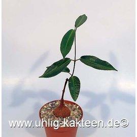 Fockea natalensis