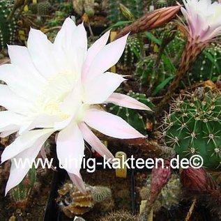 Echinopsis-Hybr. Hermine   Blüte weiß, außen mit ganz zartem hellrosa Mittelstreif