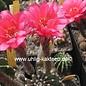 Echinopsis-Hybr. Nürnberg Serie 303 Gräser