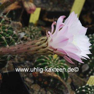 Echinopsis-Hybr. Patronus