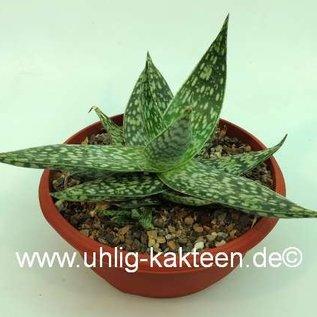 Aloe rauhii forma Rauh