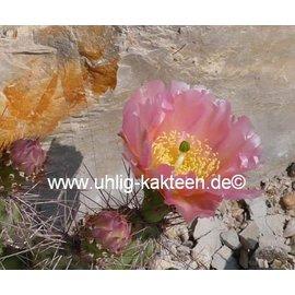 Opuntia polyacantha  v. juniperina `Oettingen` Keams Cyn., AZ    (dw)